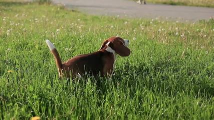 Pedigree dog Beagle barks and runs  at sunset slow motion