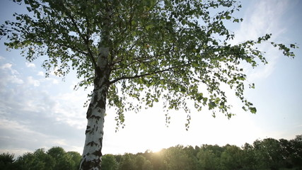 Lonely birch tree at sunset HD shot with slider