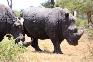 rinoceronti parco nazionale del kruger sudafrica