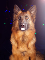 Portrait of a German Shepherd on black background with bikes
