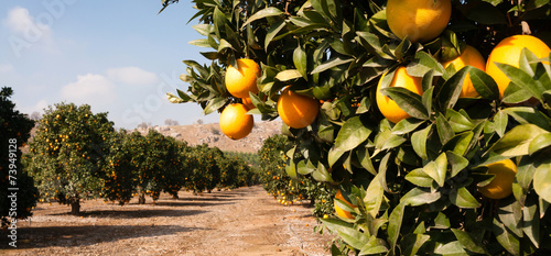 Foto Spatwand Bomen Raw Food Fruit Oranges Ripening Agriculture Farm Orange Grove