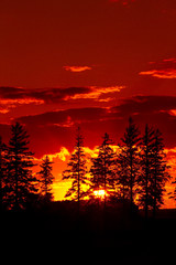 Sunset Pine Trees