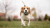 Teaching Your Dog to Play Fetch - Beagle poster