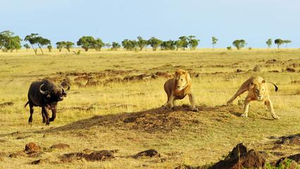 African Buffalo and Lions on the Masai Mara