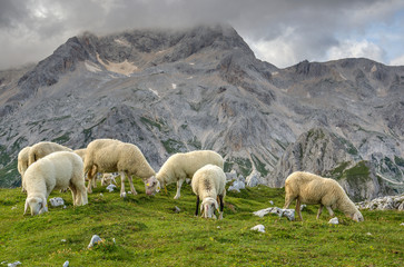 Sheep grazing on the pasture under mount Triglav