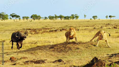 Aluminium Buffel African Buffalo and Lions on the Masai Mara