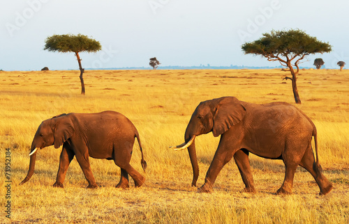 Elephants on the Masai Mara in Africa