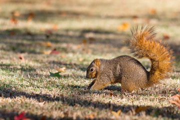 Squirrel burying nuts in fall in preparation for winter