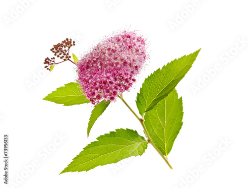 Foto op Plexiglas Magnolia branch with flowers and foliage of a spirea plant isolated on white background, bee plant