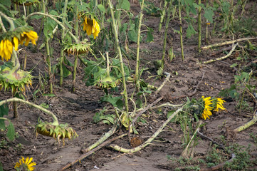 Hail Damage of sunflowers