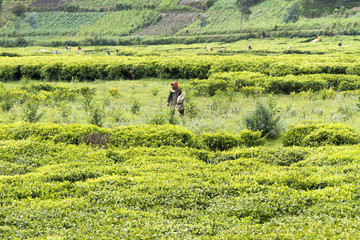 Child working at a tea plantation