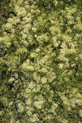 Lichen des rennes, Cladonia stellaris