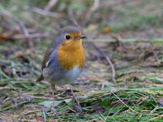 European red robin bird sitting on the ground