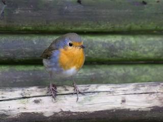European red robin bird sitting on a lath fence