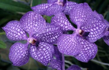 Orchidée, Vanda, Variété Blue magic