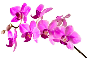 illustration of the Pink streaked orchid flower, isolated