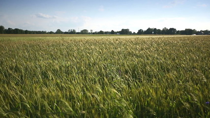 Young wheat moves from the wind.