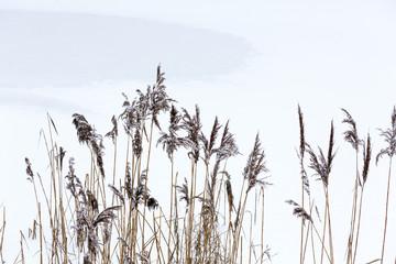 Fragile winter reeds