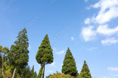 耶馬溪の杉の木と青空