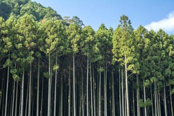 耶馬溪の杉林