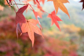 モミジバフウの紅葉のアップ