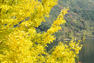 水辺のイチョウの黄葉