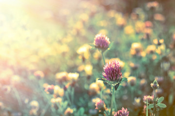 Red clover early in morning