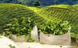 tea harvest on tea plantation