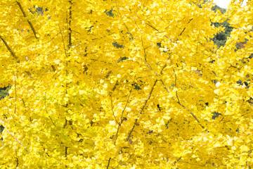 全面のイチョウの黄葉