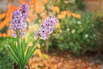 Hyacinths, autumnal nature background