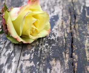 rose auf altem holz