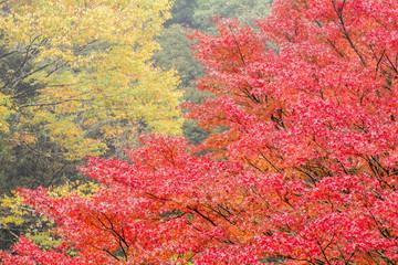 黄葉をバックにイロハカエデの紅葉