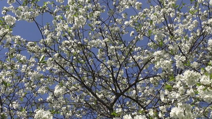 blossoming cherry fruit tree in spring