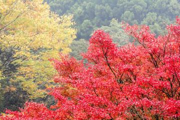 イロハカエデの紅葉と森