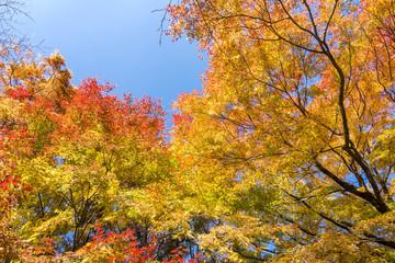 黄緑から赤の秋のイロハカエデの葉