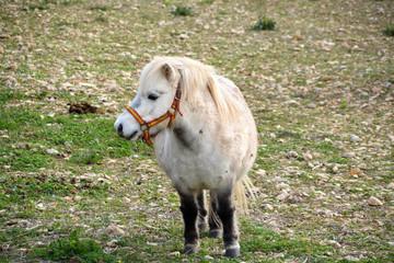 poni blanco