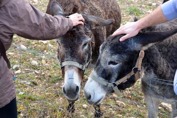 pareja de burros