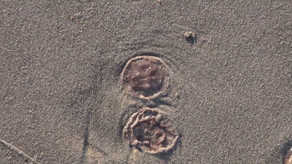 jellyfish medusa on ocean beach sand after storm