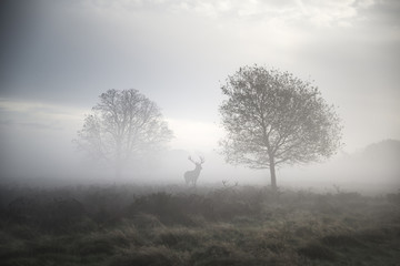 Red deer stag in atmospheric foggy Autumn landscape