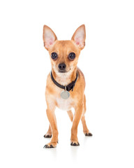 domestic dog chihuahua isolated on white