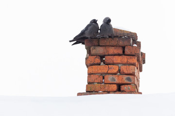 Corvus monedula, Jackdaw.