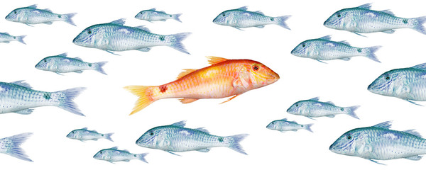 Against the Current, school of fish, red mullet 0005