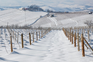 Vineyards covered with snow.