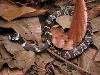 Sleep snake (Sibynomorphus mikanii)