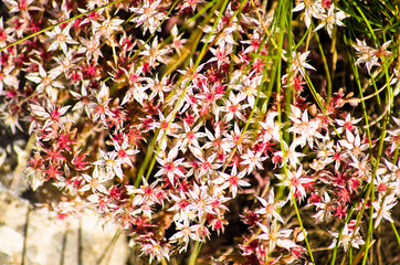 Bush of red and white mountain flowers