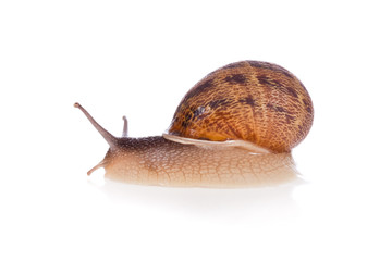 Garden snail (focus on head) isolated on a white background