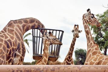 Giraffe in cattività