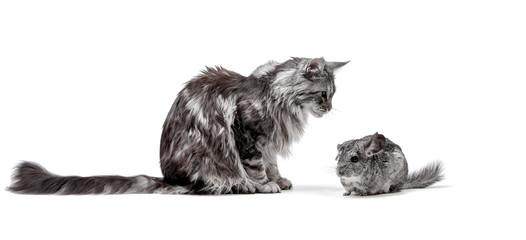 Katze und Chinchilla