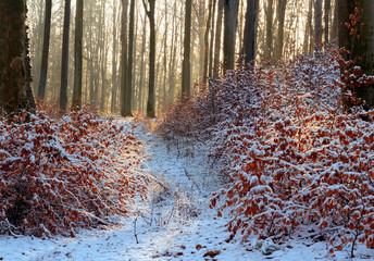 Zimowy Bukowy Las