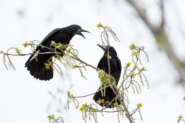 Corvus frugilegus, Rook.
